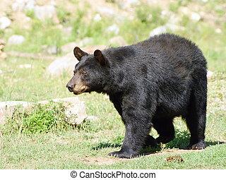Wild animails in Canada - Black Bear