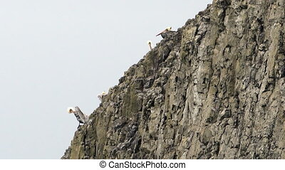 Wild Animal Bird Pelicans Braving Strong Winds Sheer Cliff...