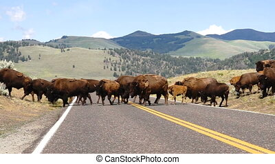 Wild Animal Buffalo Bull Males Oversee Road Crossing Yellowstone National Park