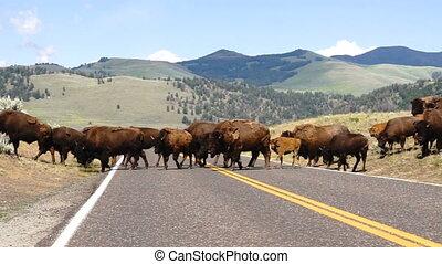 Wild Animal Buffalo Bull Males Oversee Road Crossing...