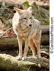 Wild Animal Coyote Stands On Stump Looking For Prey - Coyote...