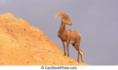 Wild Animal High Desert Bighorn Sheep Male Ram Eating Rocks