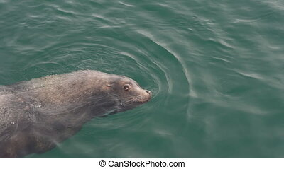 Wild animal Steller Sea Lion or Northern Sea Lion Eumetopias Jubatus marine mammal swimming in cold water of Pacific Ocean. Kamchatka Peninsula, Russian Far East, Eurasia