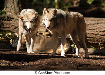 Wild Animal Wolf Pair Standing Playing North American ...