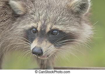 wild animals - Racoon steeling bird food from flat feeder....