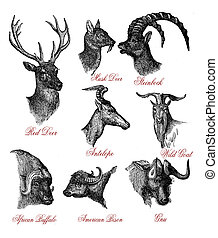 Wild animals with horns, vintage engraving  XIX century