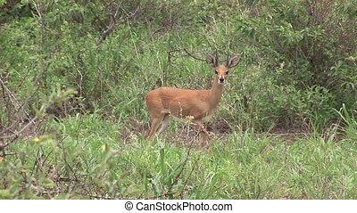 Wild Antelope in African Botswana