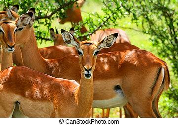 wild, antilope