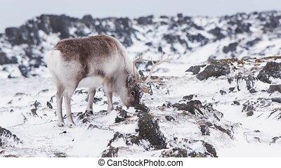 Wild Arctic reindeer in natural habitat - Svalbard,...