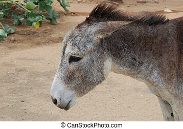Wild Aruban donkey with his ears pinned back in anger.