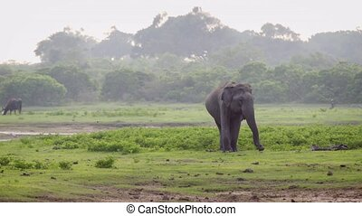 Wild Asian Elephant in Sri Lankan Wildlife Sanctuary -...