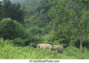 wild Asian elephants in the forest
