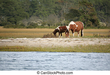 wild Assateague ponies - two wild ponies from the Virginia...