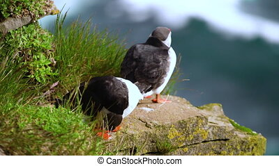 Wild Atlantic puffin seabird in the auk family in Iceland...