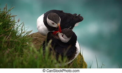 Atlantic puffin also know as common puffin is species of seabird in the auk family in Iceland. Iceland, Norway, Faroe Islands, Labrador in Canada are known to be large colony of this puffin.