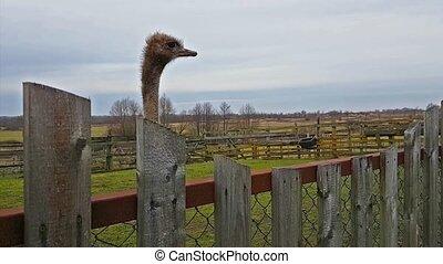 Wild Australian ostrich grazing on a poultry farm -...