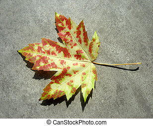 Wild Autumn Maple Le