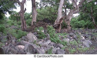Wild Baboon Monkey in Africa