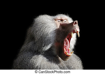 Wild baboon with wide open mouth