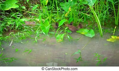 """""""Wild Baby Ducks in a Natural Pond, with sound."""""""