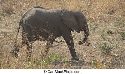 Wild baby elephant walking in super slow motion - Wild baby...