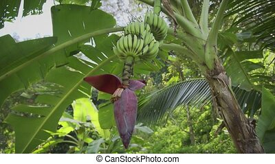 Wild banana flower with fruits in the tropical forest. Thailand. 6k video