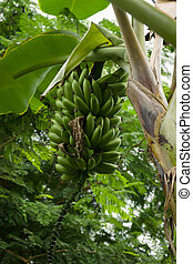 Wild banana latin name Musa acuminata showing a crop of ripening fruit. It is the worlds largest herbaceous flowering plant originating from South East Asia grown widely in the tropics