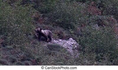Wild bear appears behing the bush of Somiedo, Asturias, ...