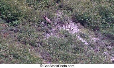 Wild bear in the hillside of Somiedo, Asturias, Spain - Long...