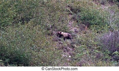 Wild bear searching for almonds in Asturias