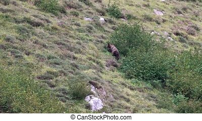 Long shot of wild bear searching for almonds