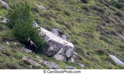 Wild bear stops searching for almonds in the tree and looks to the camera over the rock