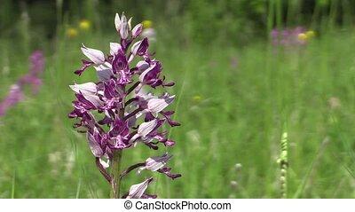 Wild beautiful purple orchid Orchis militaris detail - Wild...