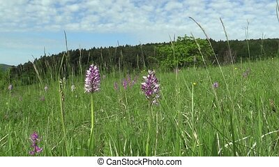 Wild beautiful purple orchid Orchis militaris, meadow - Wild...