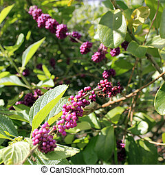 Wild Beautyberry Bush