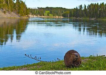 Wild Beaver - Close-up shot of a wild beaver eating a grass...