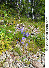 Wild bells in the rocky slope.