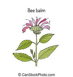 Wild bergamot or bee balm