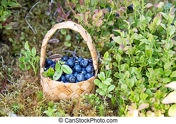 Wild berries in a basket. Harvesting blueberries for the winter