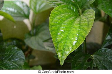 wild betel leaf bush in garden