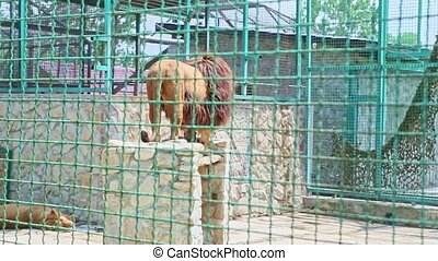wild big lion jups in large zoo cage