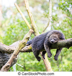 binturong bearcat sleeping - wild binturong bearcat sleeping...