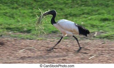 Wild Bird Carrying Grass For Nest Instinct