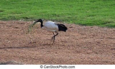 Wild Bird Carrying Nest Materials
