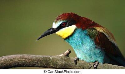 wild bird in morning procedures, bee-eater belches...