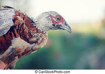 Wild bird , Pheasant