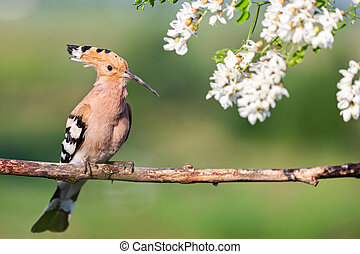 wild bird with a crest on its head sits in the flowers of a robinia