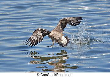 wild birds - Landing Canada goose