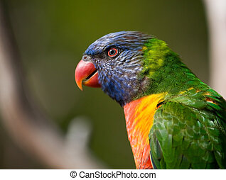 Wild Birds of Color - Bright colored Lorikeet birds in a ...