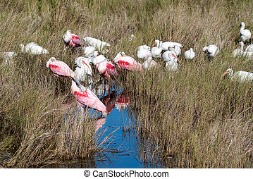 wild birds - Roseate spoonbills and white ibis in a salt ...